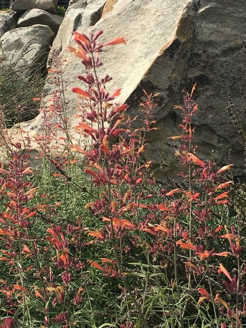 Agastache rupestris 'Apache Sunset' in sunny Rock Garden designed by Phyllis Gricus